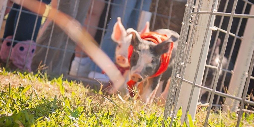 pig races at denver downs farm